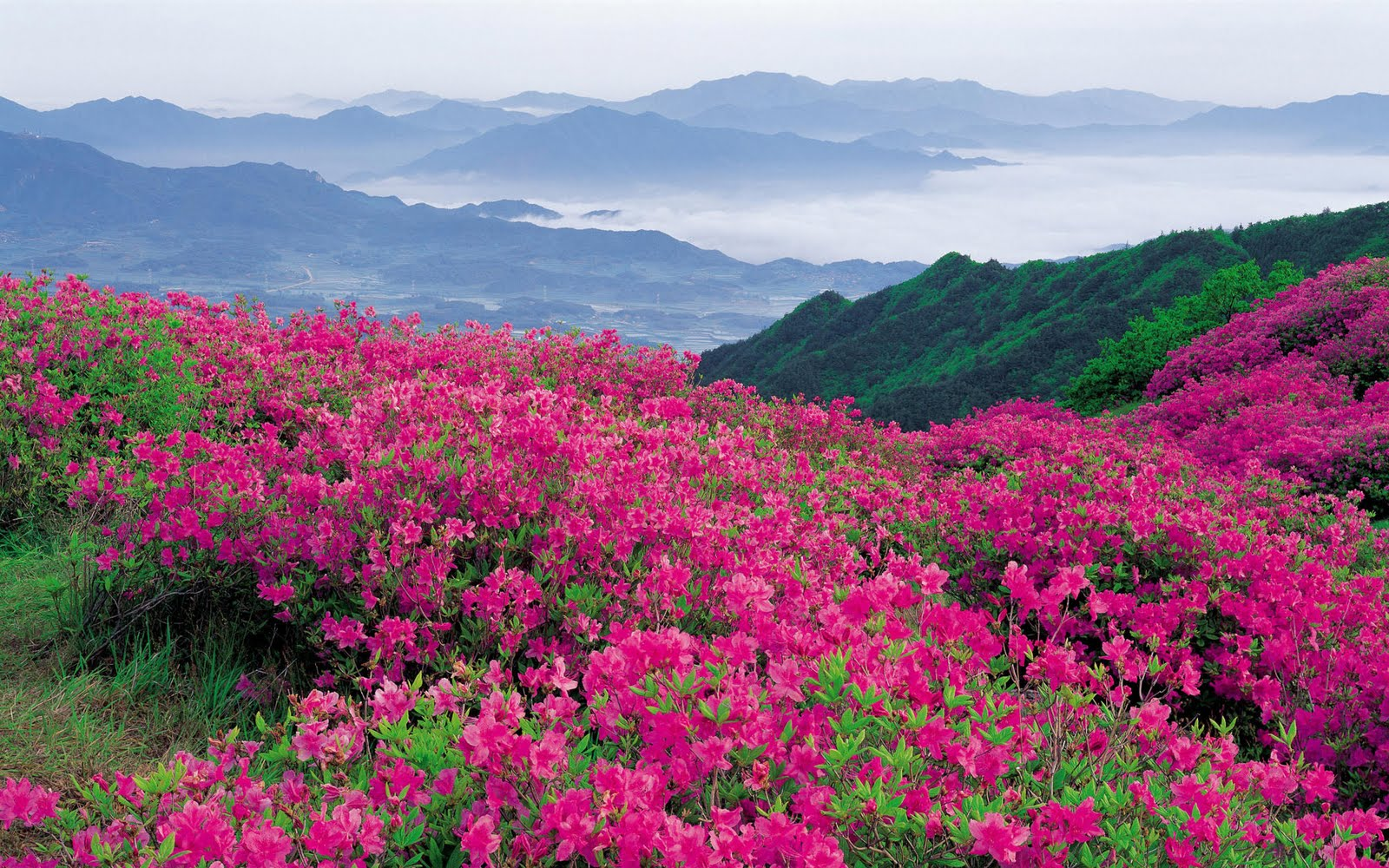 pink-flowers-landscape-wallpaper-1920x1200